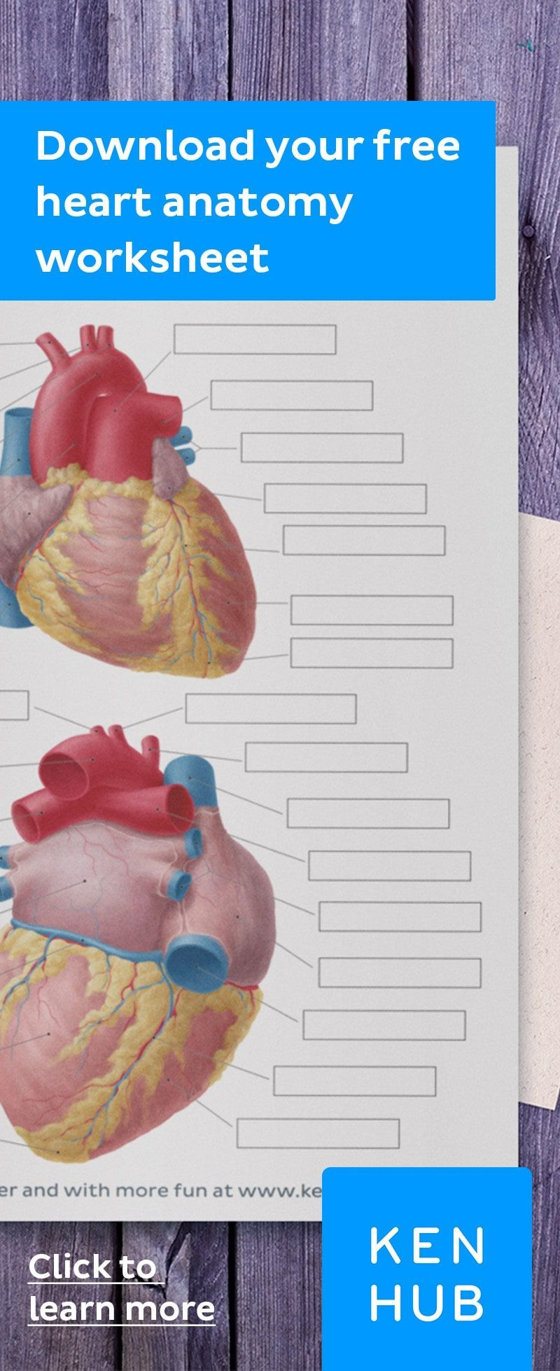Diagrams, quizzes and worksheets of the heart   Heart anatomy, How ...