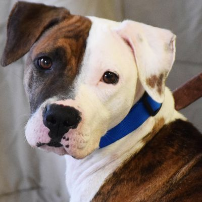 Boxer dog for Adoption in Huntley, IL. ADN444519 on