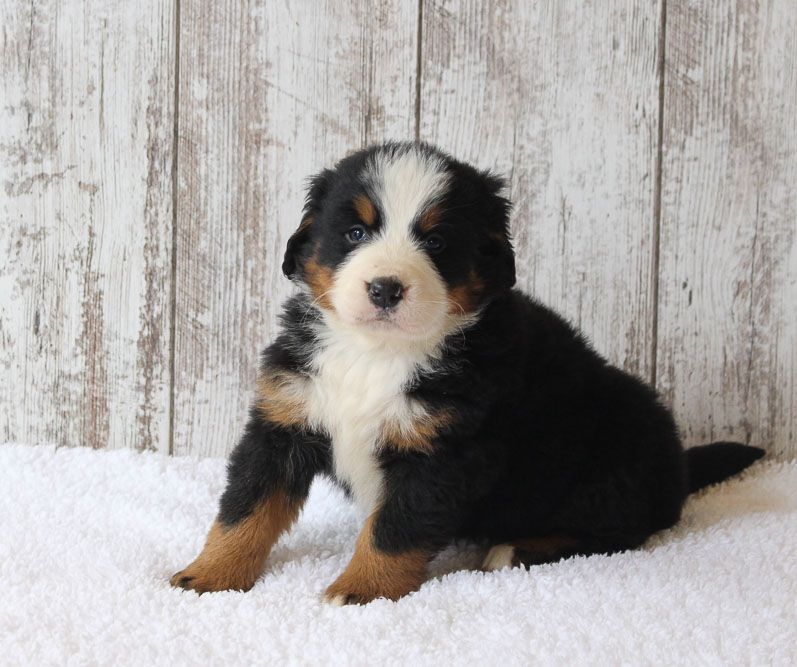 Clifford Male Akc Bernese Mountain Dog For Sale In Harlan In