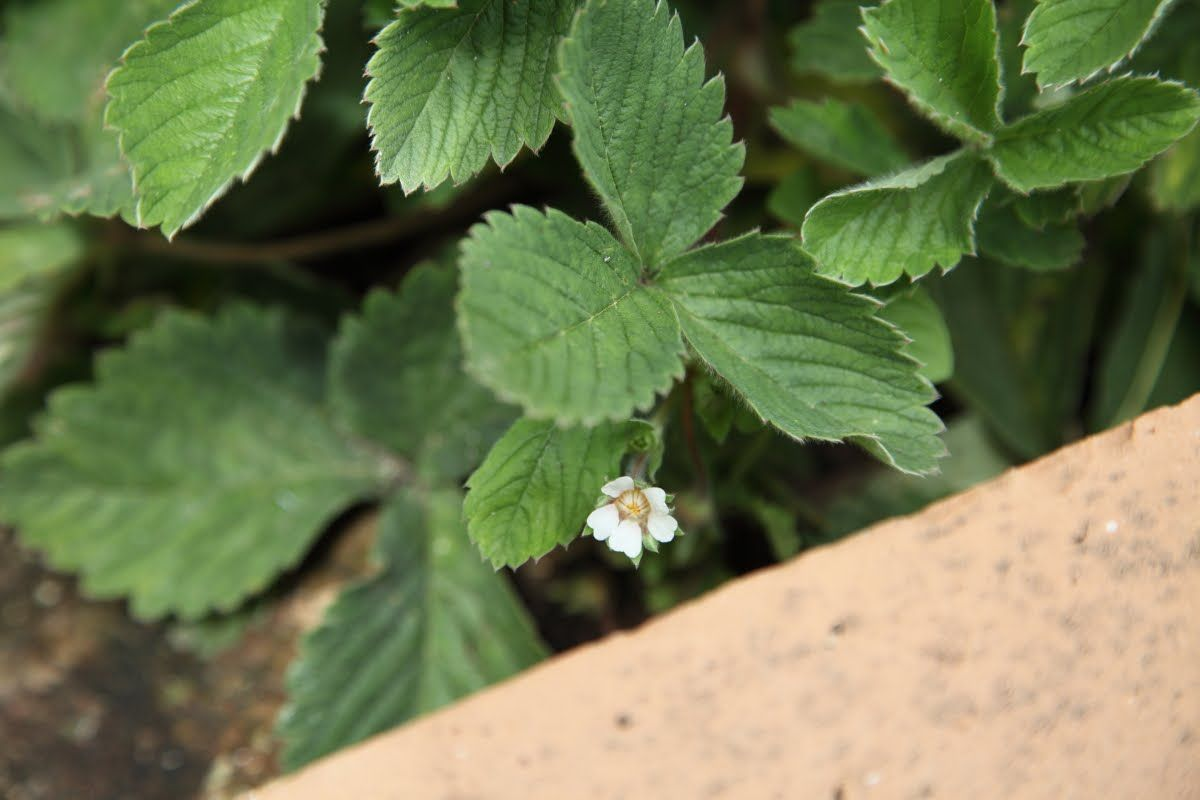 Photo of fragola Fragaria vesca