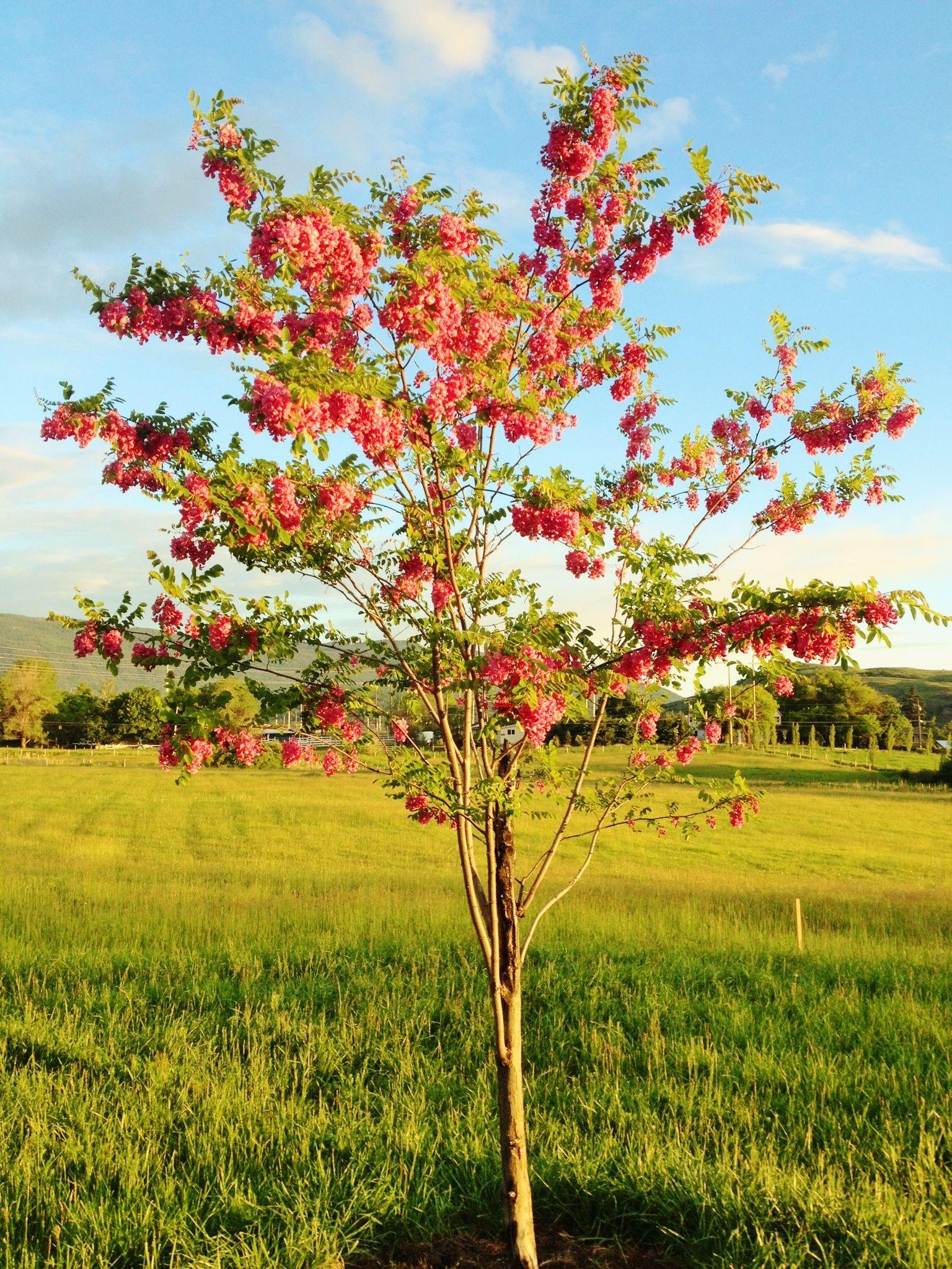 Robinia pink locust tree zone 5 garden pinterest japanese robinia pink locust tree zone 5 mightylinksfo