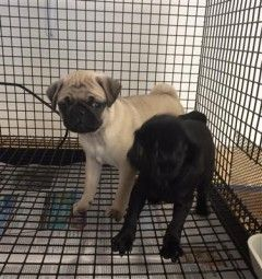 Pug Puppies Puppies And Dogs For Sale Pets Classified Ad Nj