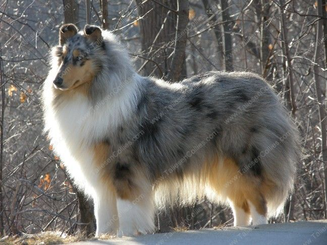 Rough Blue Merle Collie Looks Like My Dog Blue Rough Collie