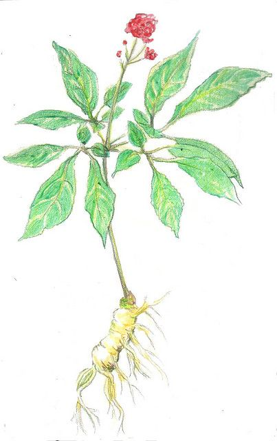 The benefits of ginseng  Image: whitney waller