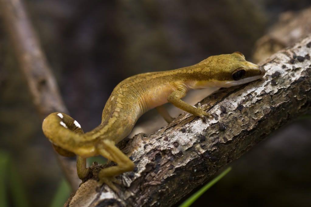 Aeluroscalabotes felinus - Cat gecko #geckos #lizards #reptiles #herpetology