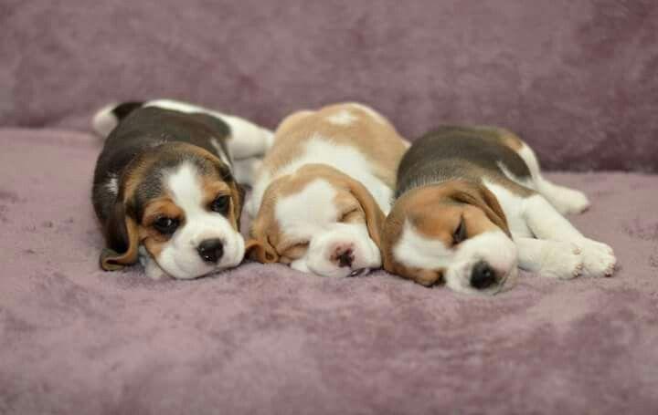 Beagle Cute Beagles Cute Animals Beautiful Dogs