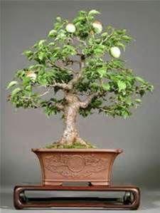 Avocado Tree Bonsai Bonsailearningcenter Com This Bonsai Tree Bonsai Bonsai Fruit Tree