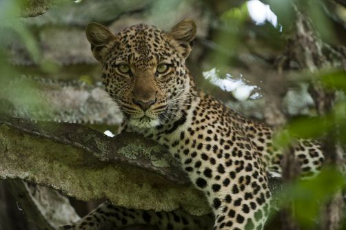 A young female leopard rests in a euphorbia tree. Location:Queen Elizabeth National Park, Uganda.  Photographer:JOEL SARTORE/ National Geographic Stock
