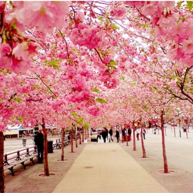 Sakura Japan! Cherry blossom walk! Love❤