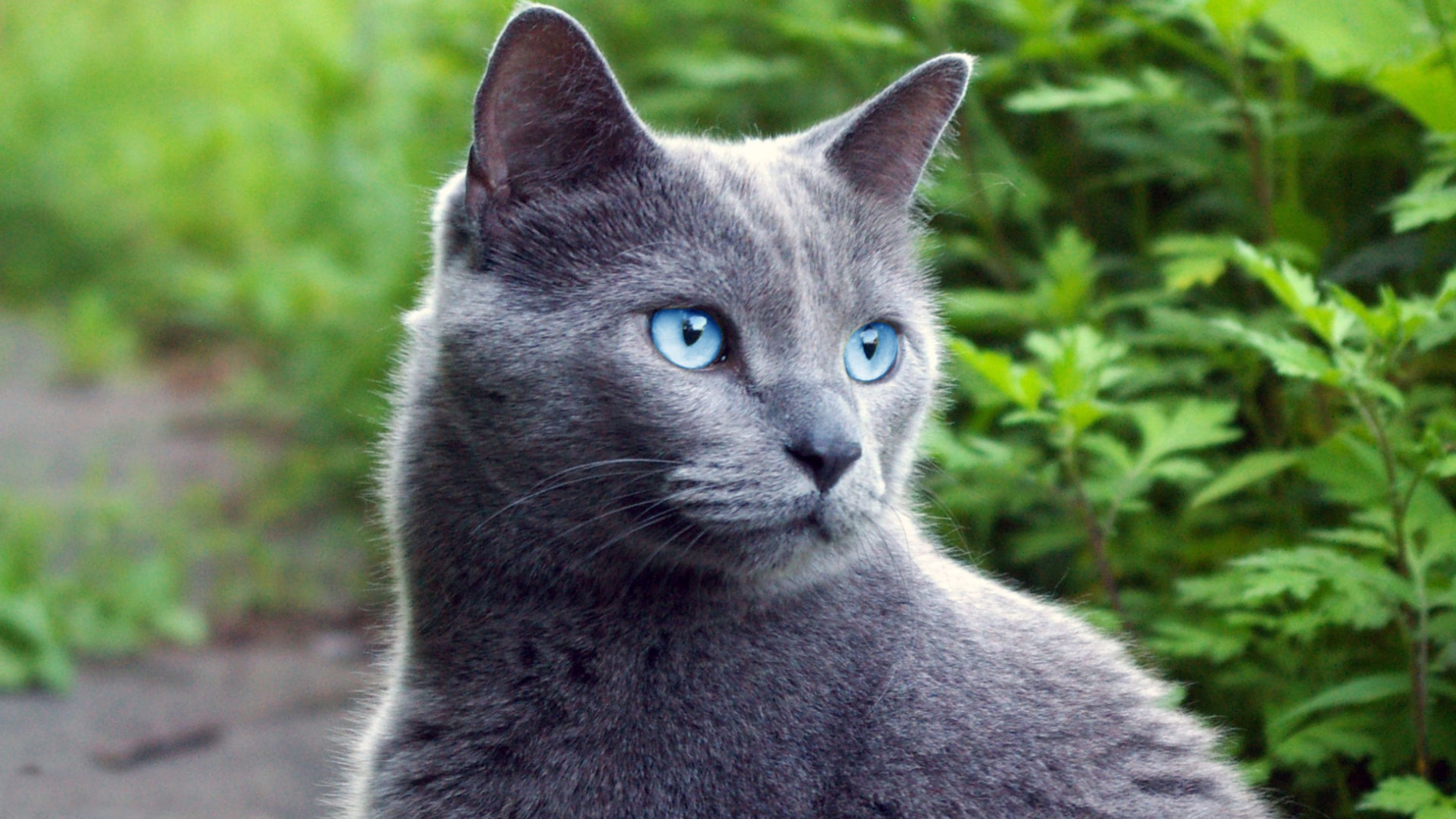 Stonefur (Riverclan Warrior) Russian blue, Blue cats, Cats