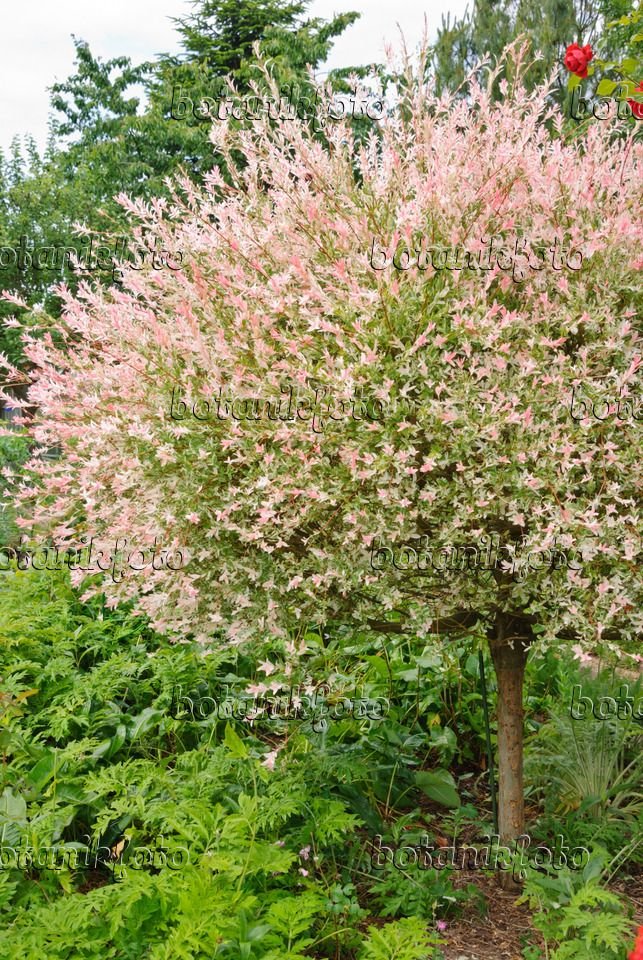500191 dappled willow salix integra 39 hakuro nishiki - Salix hakuro nishiki taille ...