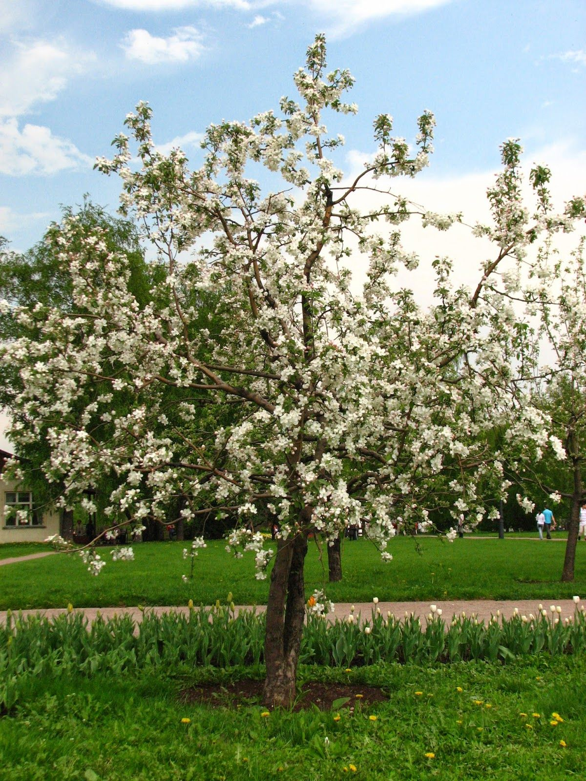 Common Apple Malus Domestica Zone 4 Medium Tree Spring Bloomer With White And Pink Flowers Apple Tree Flowers Plants Smooth Hydrangea