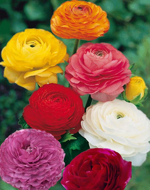 10 Ranunculus Flower Bulbs All 10 Of One Color Or Mix Double Telecote Sz 7 8 Bulb Flowers Persian Buttercup Ranunculus Flowers