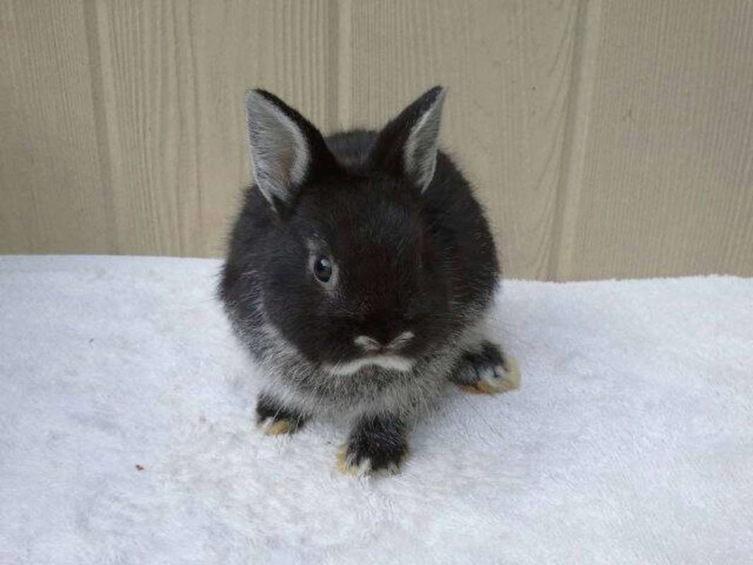 Black Otter Netherland Dwarf Bunnies Sold Out At This Time