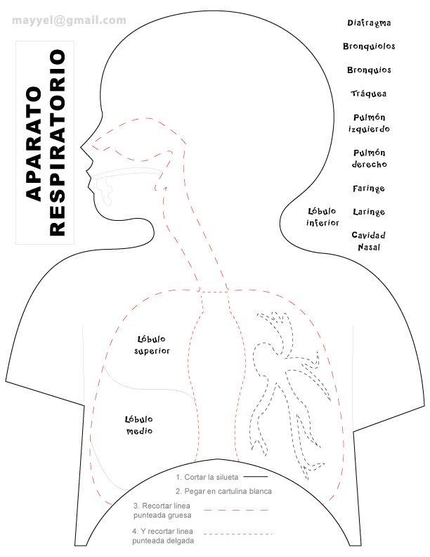 Aparato Respiratorio | Proyecto: el cuerpo humano | Pinterest ...