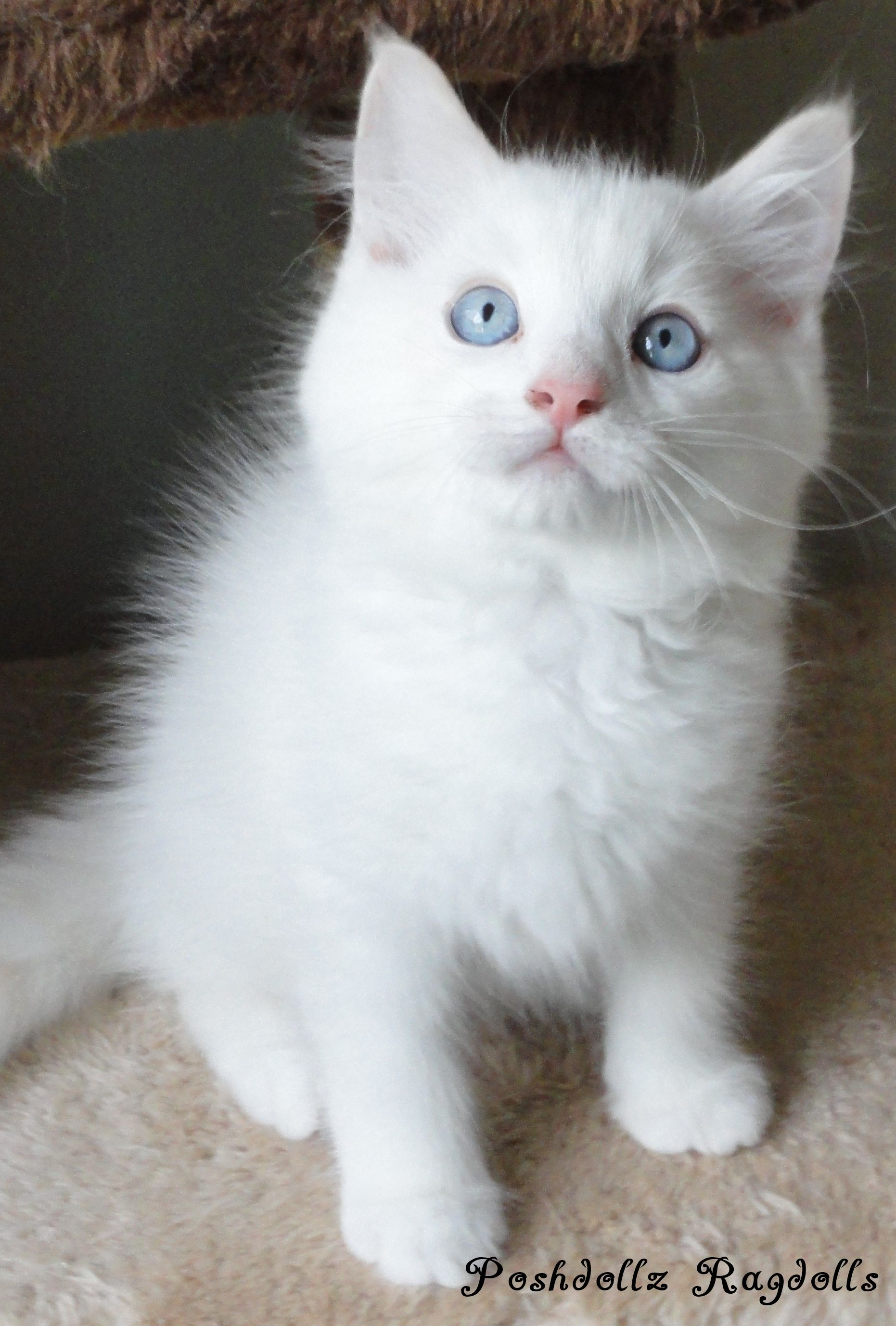 Flame Point Mitted Ragdoll Kitten Pretty Cats Kittens Cutest Cats And Kittens