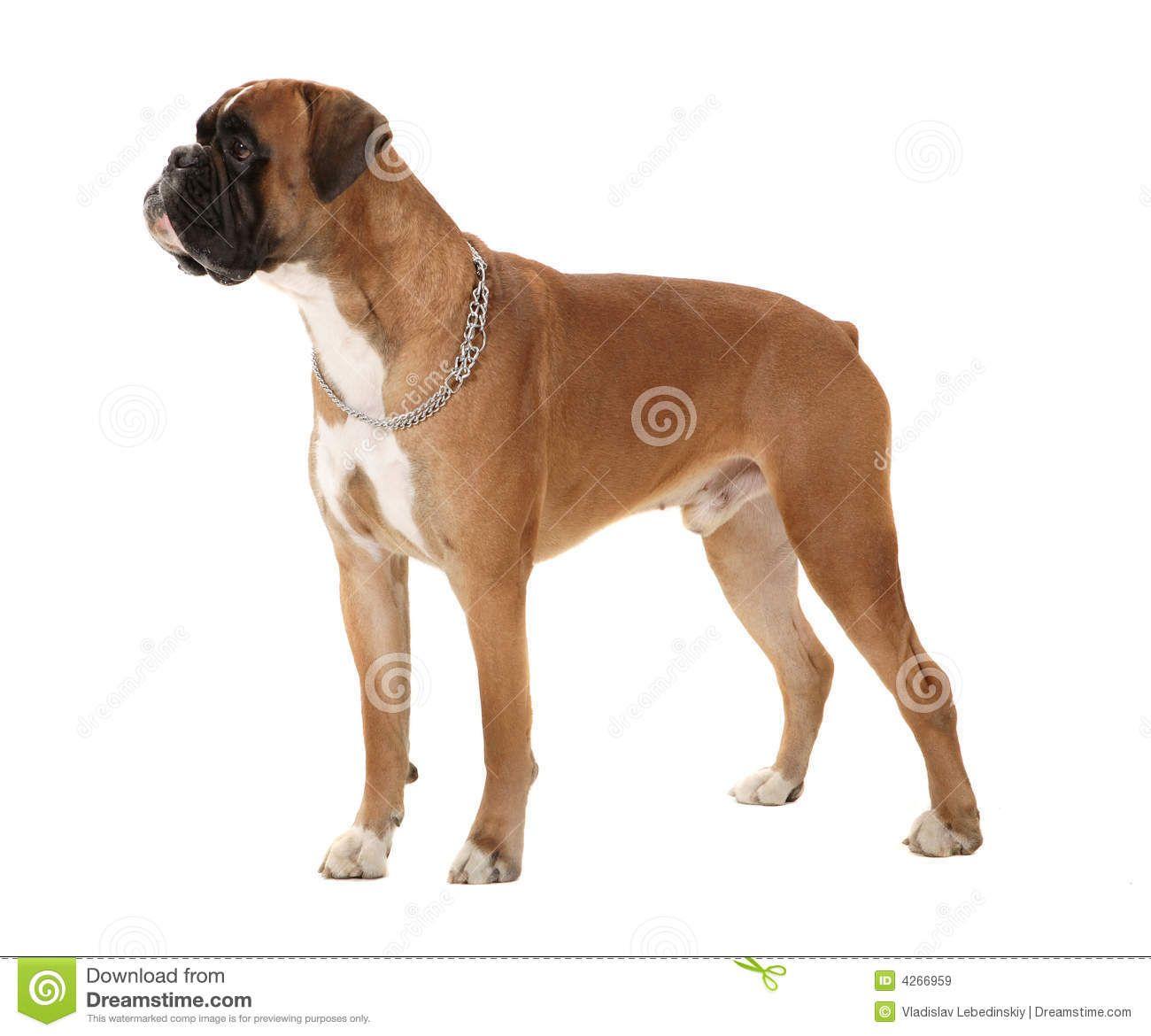 boxer dog front view - Αναζήτηση Google | dog anatomy refernce ...