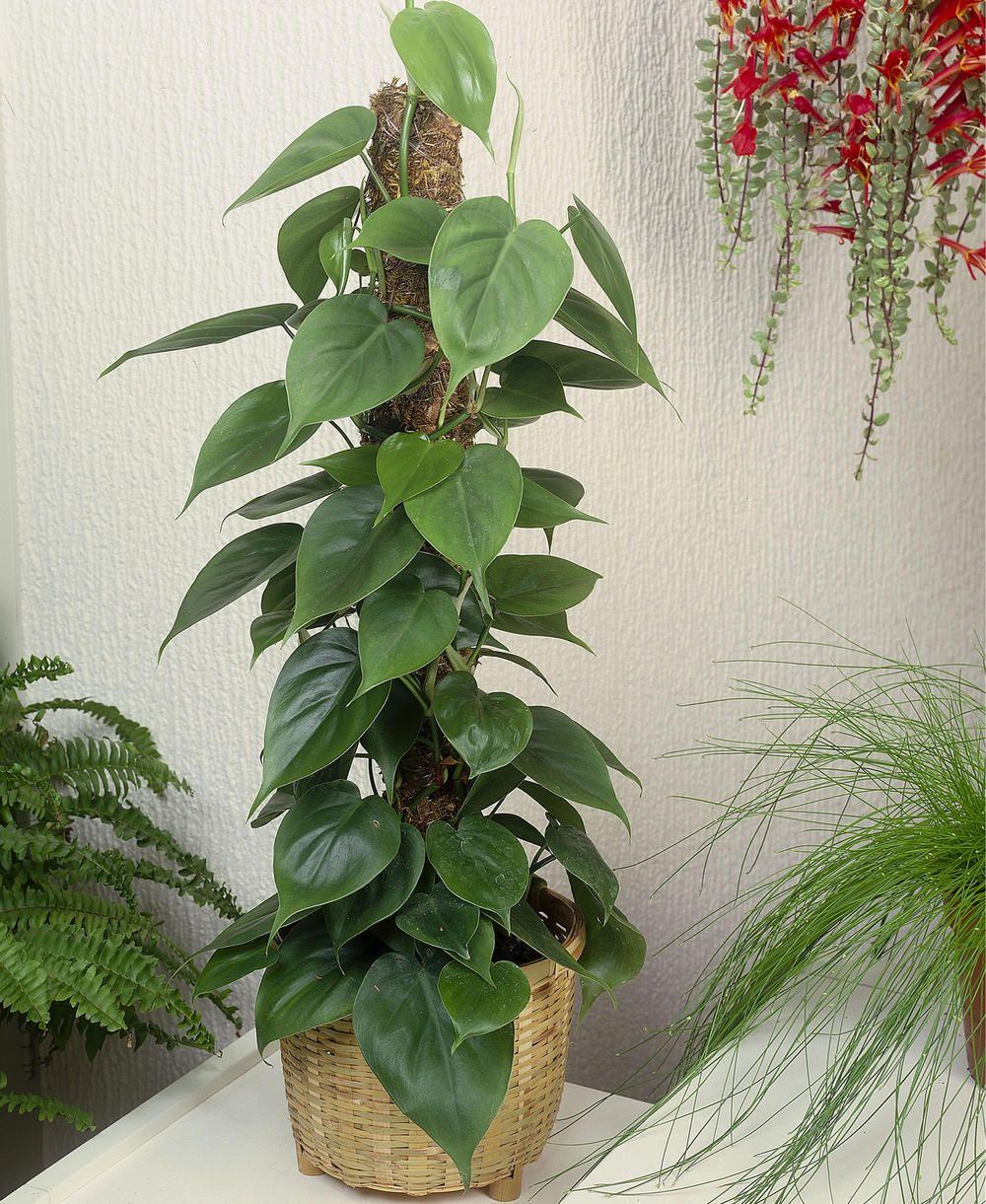 Kletter-Philodendron (Philodendron scandens) pflanzen und pflegen ...