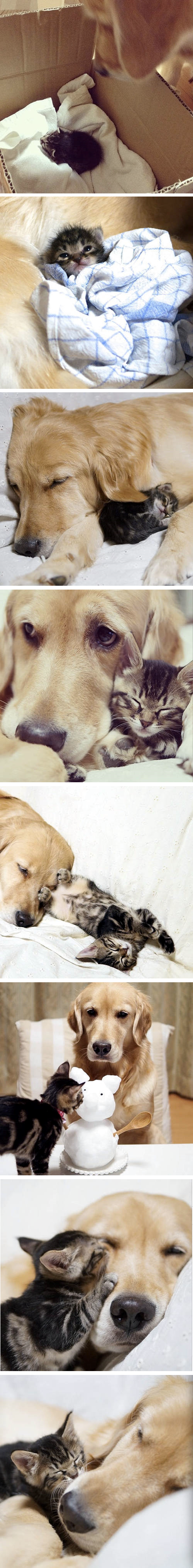 Kitty rejected by mother, cared for by a golden retriever.
