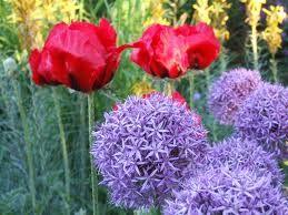 Allium globemaster and red tulip