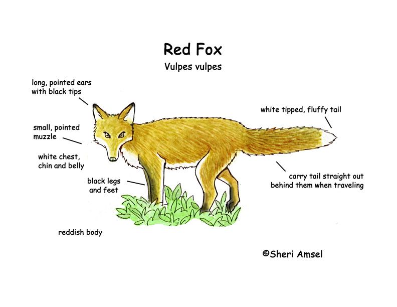 Fox Body Parts >> Fox Red Animals Of The World Fox Animals
