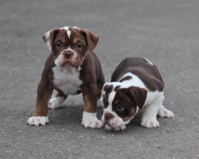 Olde English Bulldog Chocolate Tri Male For Sale In East