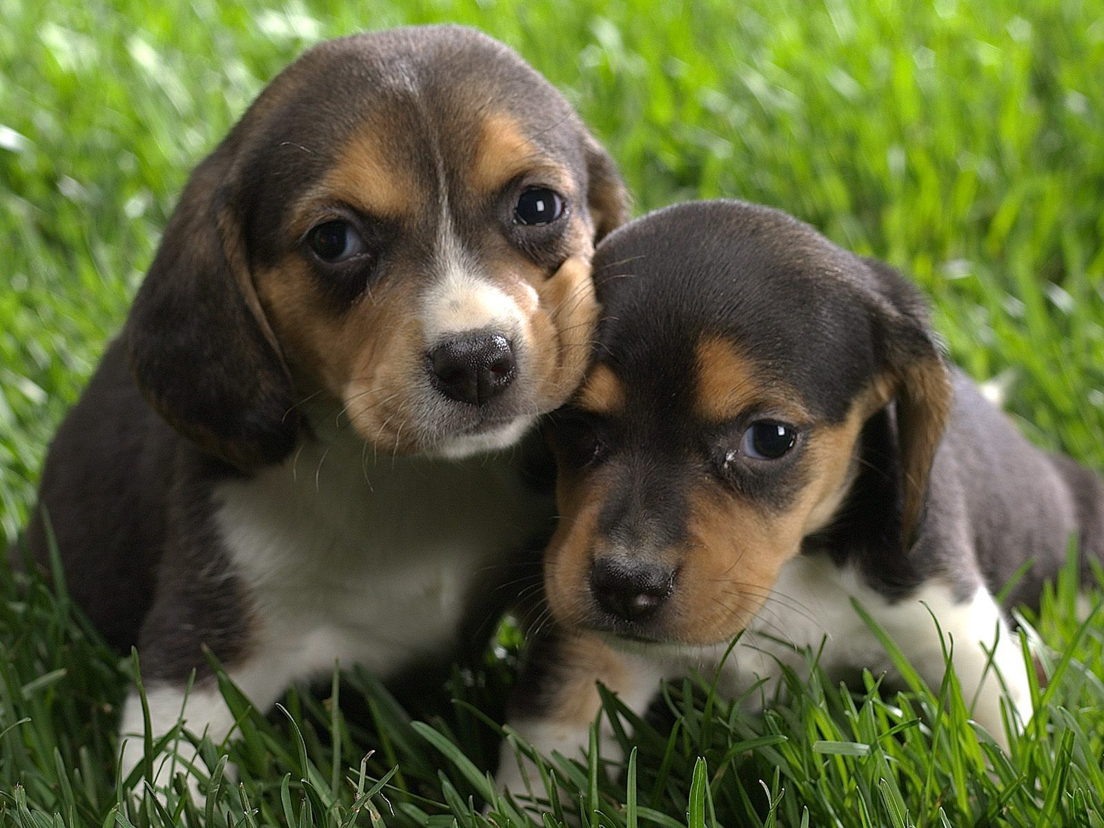 Beagle Beagles Cute Beagles Beagle Puppy Cute Puppies
