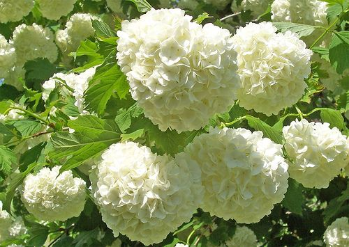 Grow Snowball Trees Home Garden Shrubs Cut Flower Garden Plants