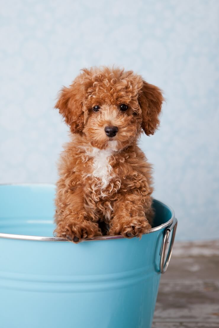 Teddy bear puppies wisconsin for sale