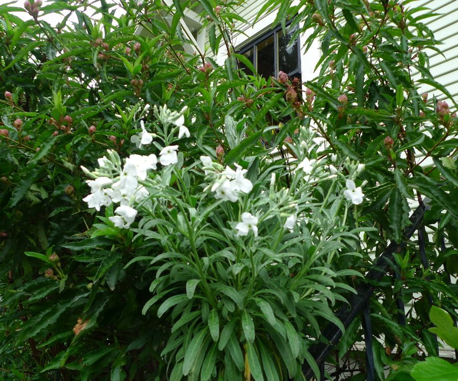 Matthiola fruticulosa - Perennial Stock. 2' x 2', woody shrub, blue gray foliage, cold hardy, flowers april/may, very fragrant.  Self sows.  Low water.