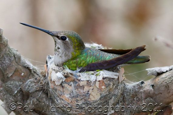 Anna's Hummingbird on Nest Photograph Presented as by Martography, $20.00
