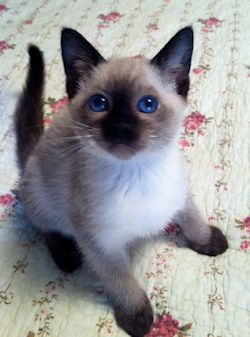 Pin By Deanna Wright On Cute Siamese Kittens Pretty Cats Siamese Cats