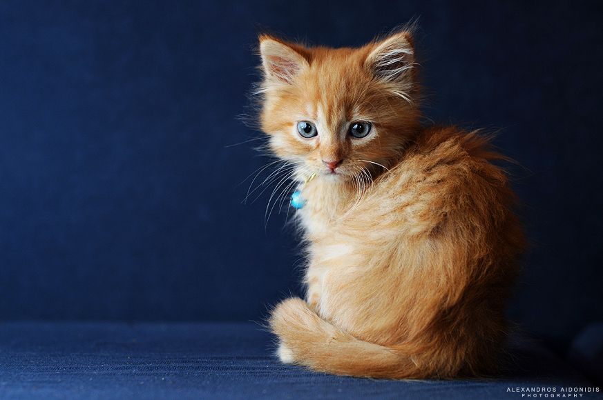 Orange fluffy kitty! Kittens cutest, Fluffy animals