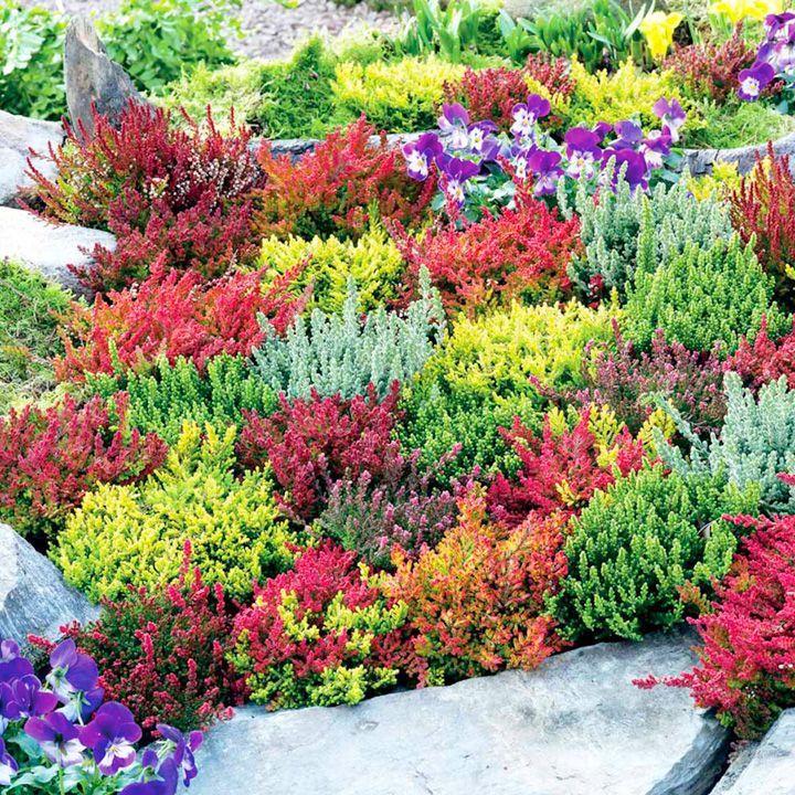 heather plants - calluna vulgaris