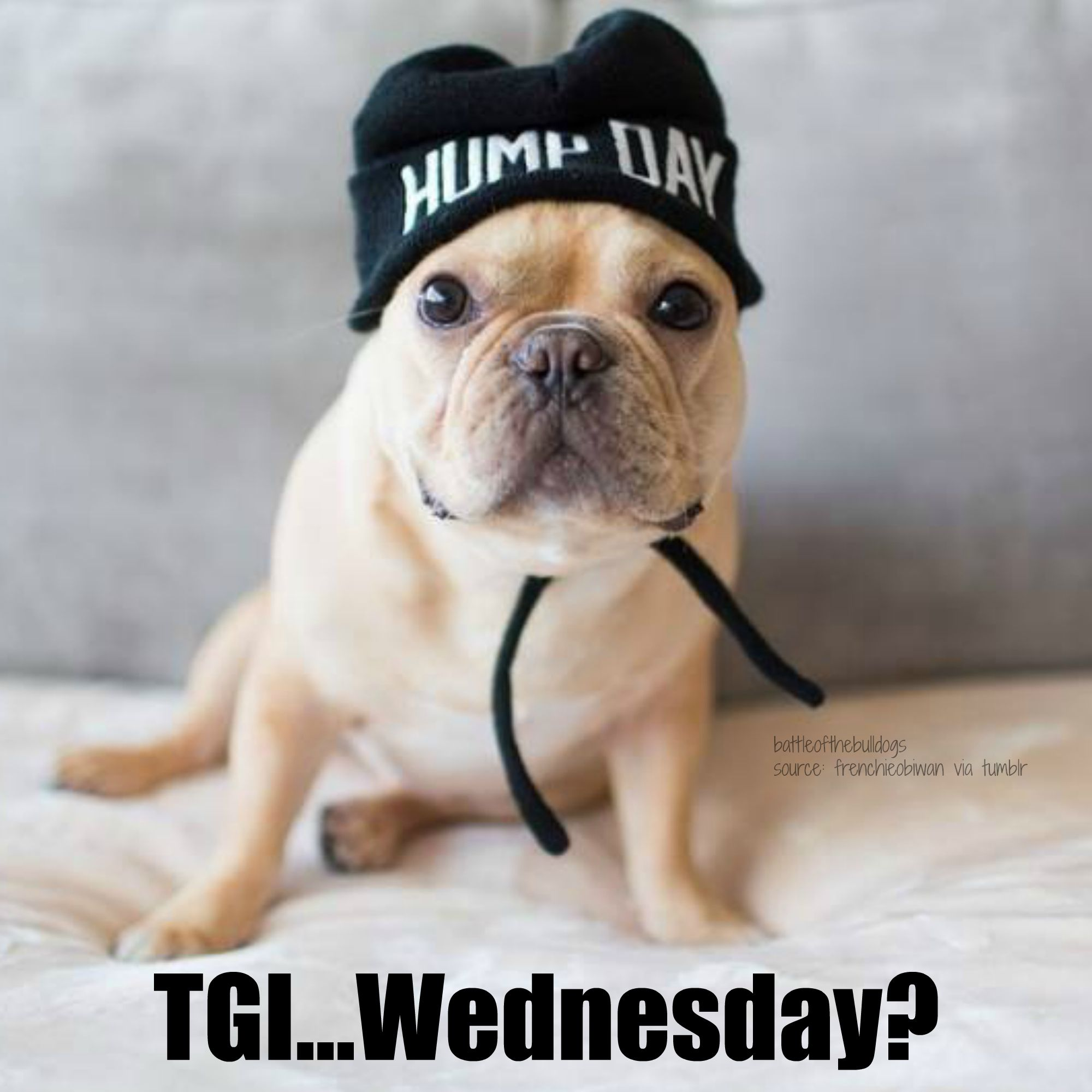 Tgi Wednesday French Bulldog Meme Frenchie Bulldog French Dogs