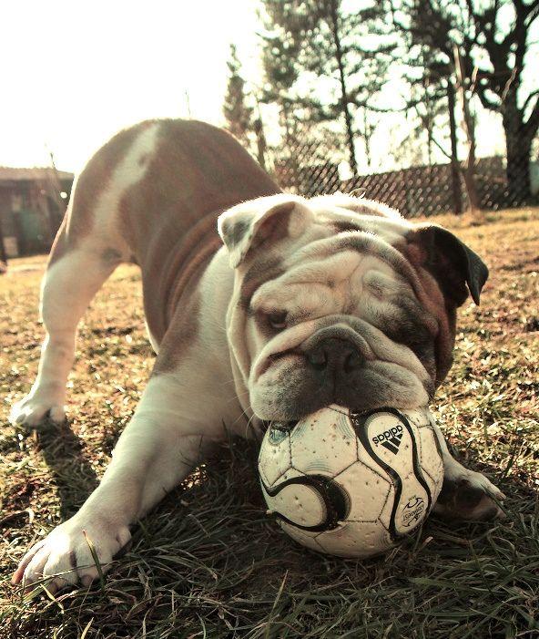 English Bulldog Love Animales Y Mascotas Mascotas Perros