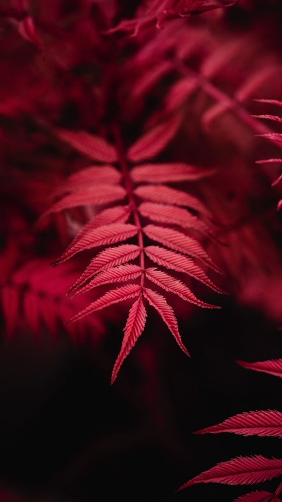 The Latest Iphone11 Iphone11 Pro Iphone 11 Pro Max Mobile Phone Hd Wallpapers Free Download Leaves Red M Wallpaper Nature Flowers Red Plants Red Aesthetic