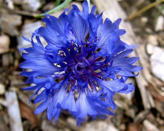 Blue Aster Aster Flower Tattoos Aster Flower September Flowers
