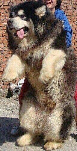 wow this tibetan mastiff is one gigantic fuzzy dog looks like