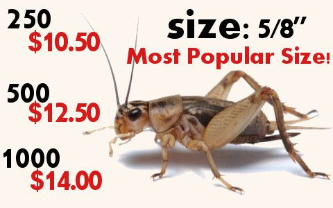 Feeder Crickets are going to be your leopard gecko's or bearded dragon's favorite meal.