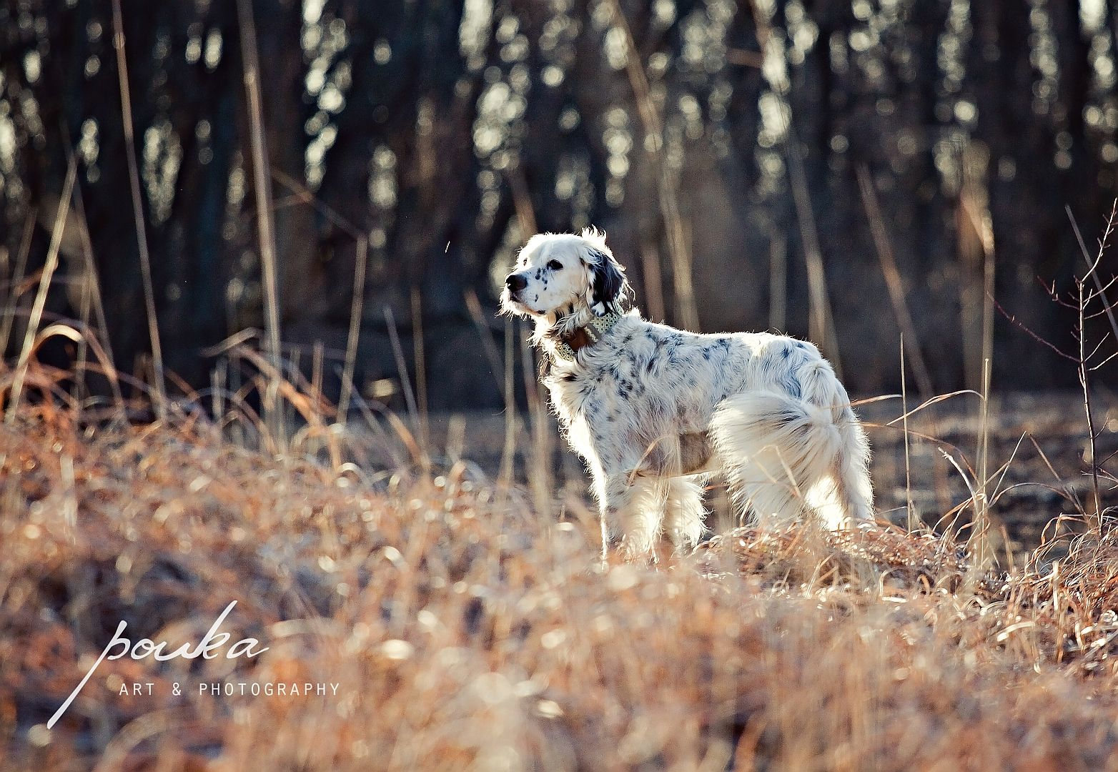 English Setter In The Field Pet Photography Portrait With