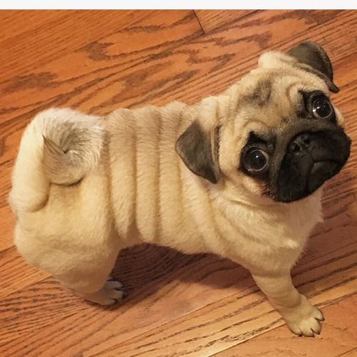 When Spare Tires Are Cute Pugs Funny Training Your Dog Pugs