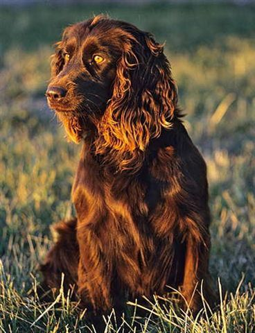 Boykin Spaniel The First Boykin Spaniel The Precursor Of Today S Breed Was Reportedly A Small Stray Spaniel Type Dog In Sout Boykin Spaniel Dogs Brown Dog