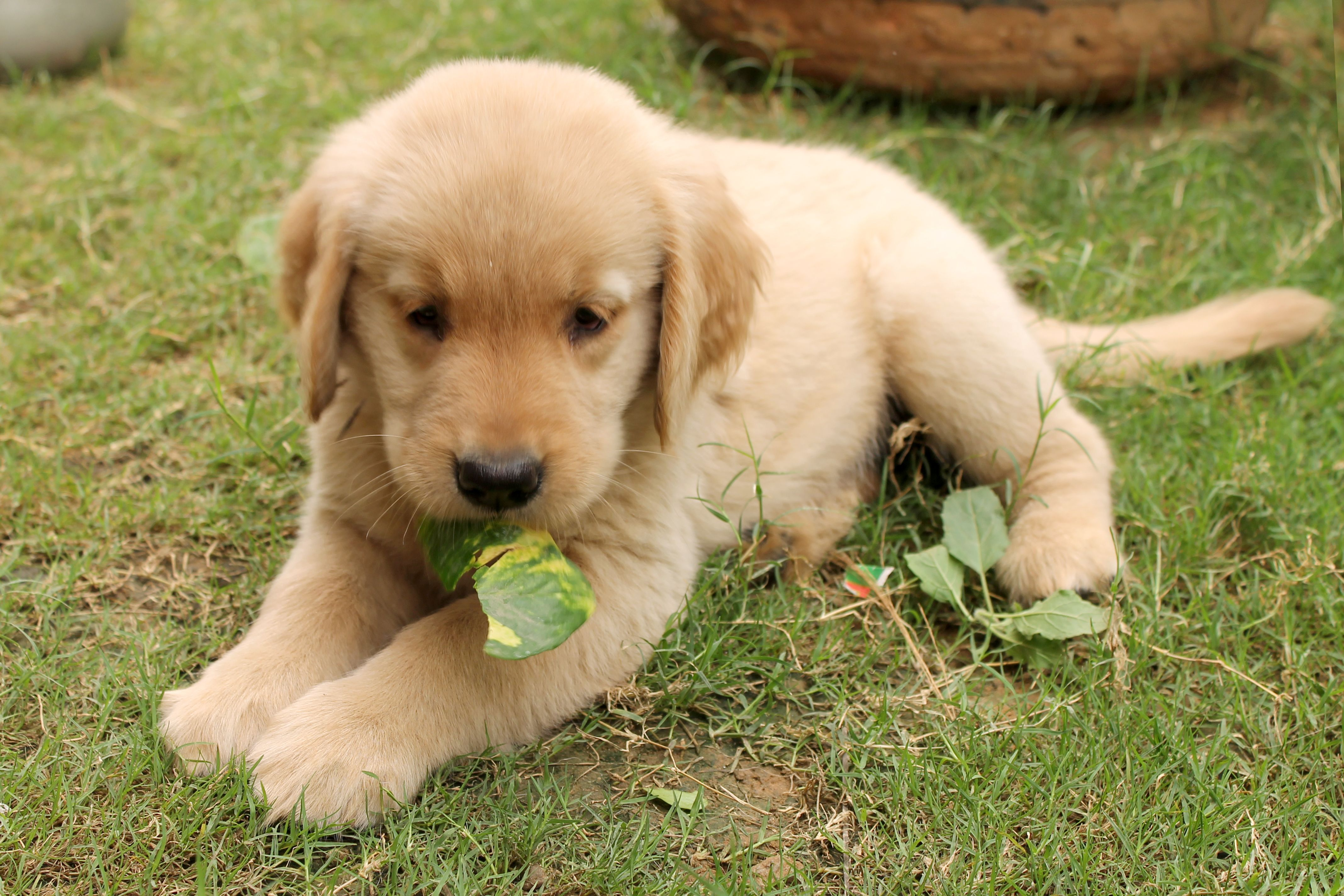 cute little golden retriever puppy. For more cute pictures