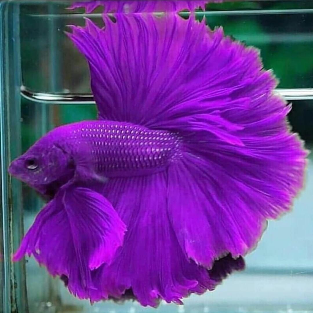 Dubai Aquascape On Instagram Looking Purple Fish In Freshwater Aquariums Is Very Unusual Do You Li Tropical Fish Aquarium Betta Aquarium Freshwater Aquarium
