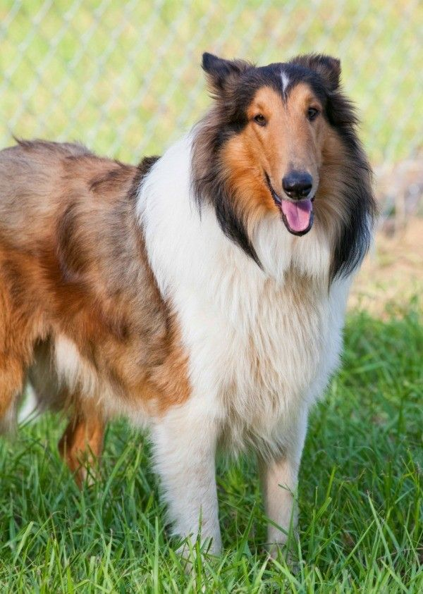 Rough Collie Breed Information And Photos Rough Collie Collie