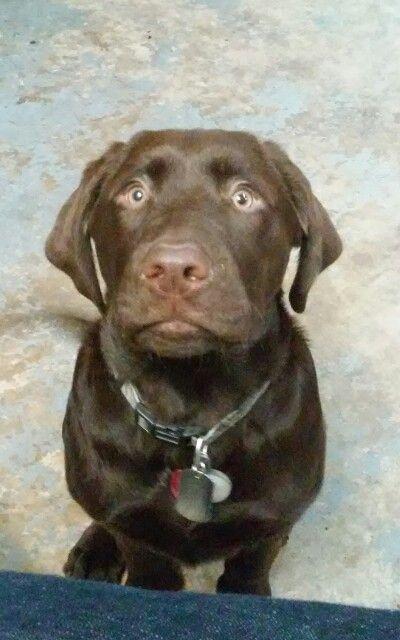 Chocolate Lab Hunde Welpen Entlebucher