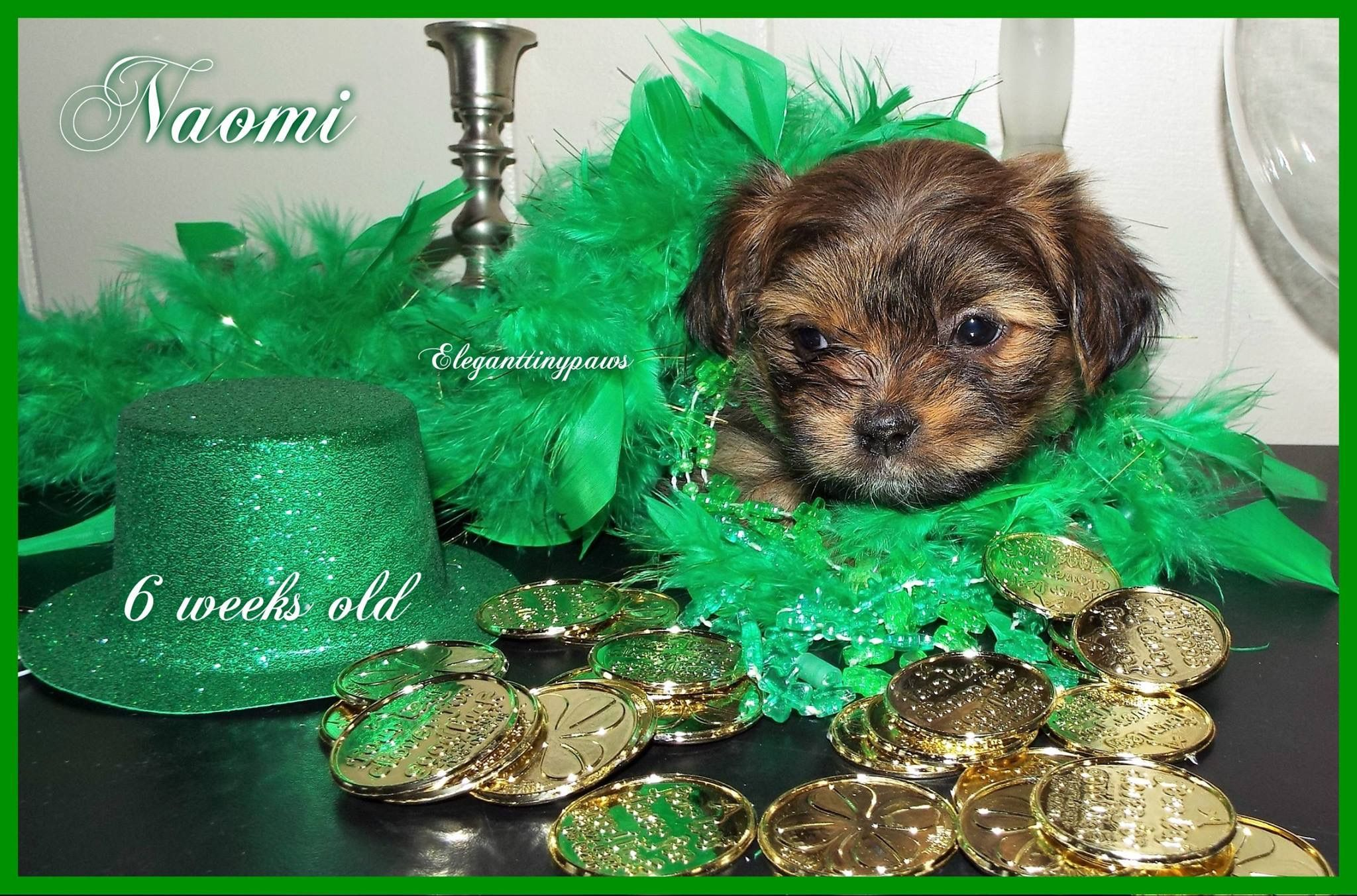 Pin by Brenda Reyes on MiKi puppies available Puppies