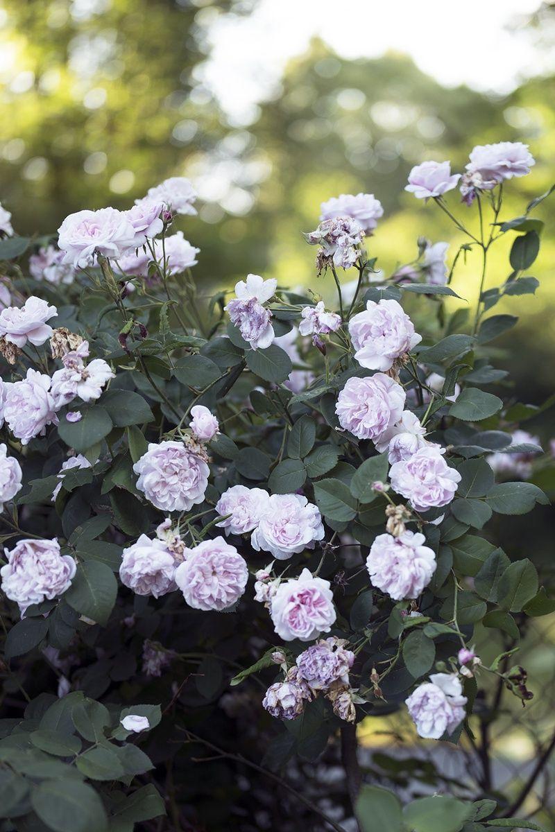 Giersch Mit Stauden Bekampfen So Geht Es Ganz Einfach Pflanzen Rosen Schneiden Bauerngarten