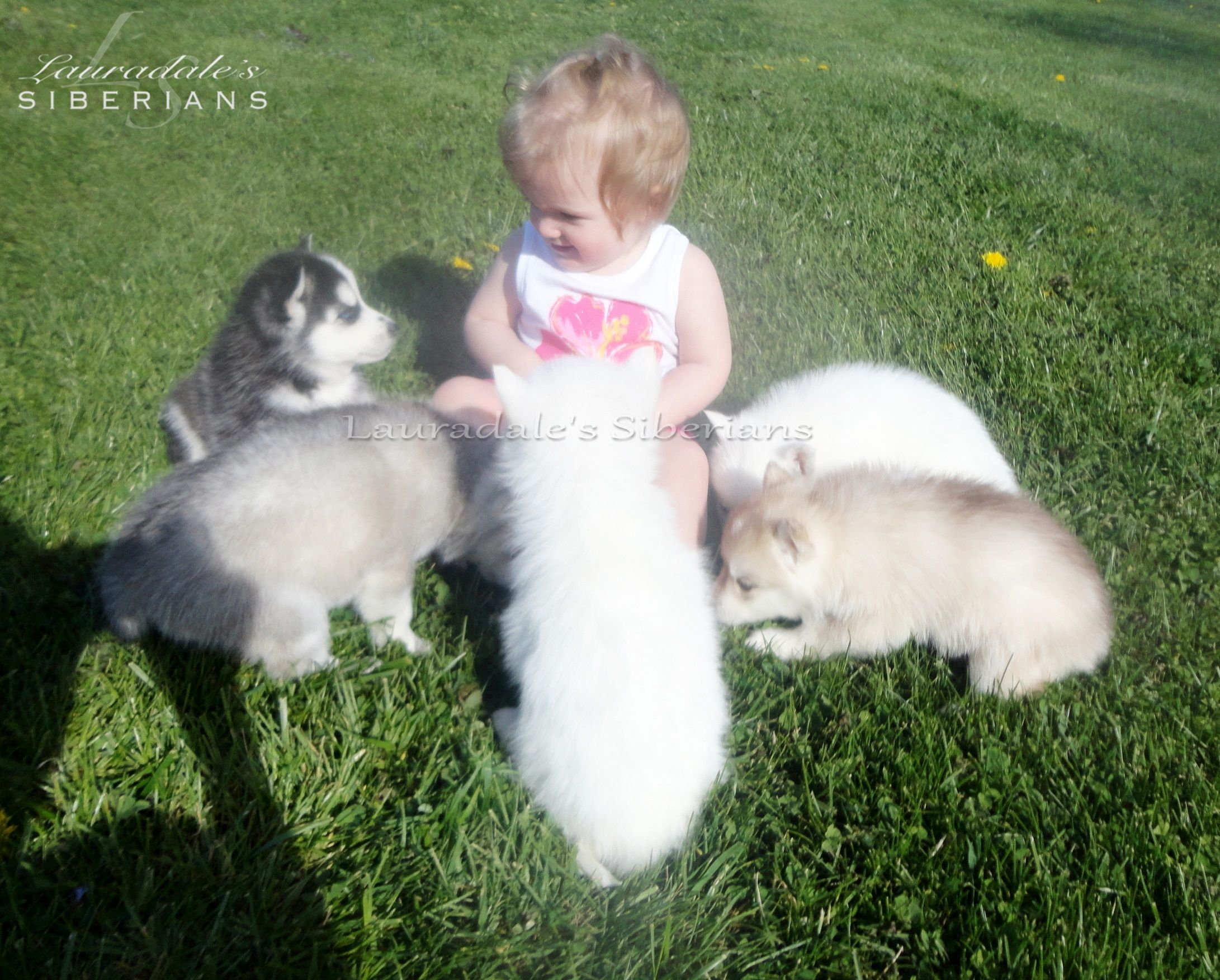 Siberian Husky Puppies Children Husky Puppy Puppy Adoption Husky